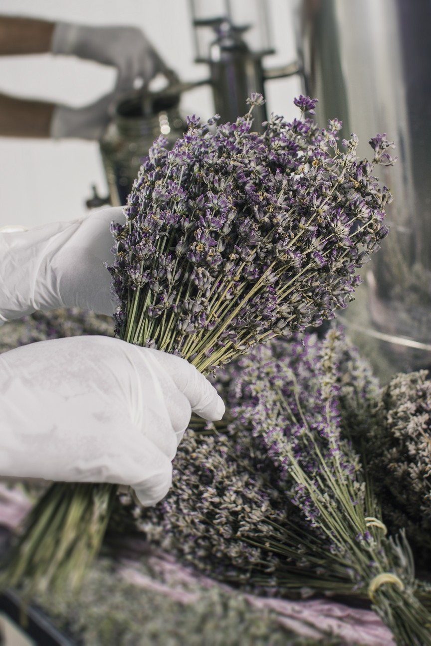 Άνθη λεβάντας πριν από την υδροατμοαπόσταξη