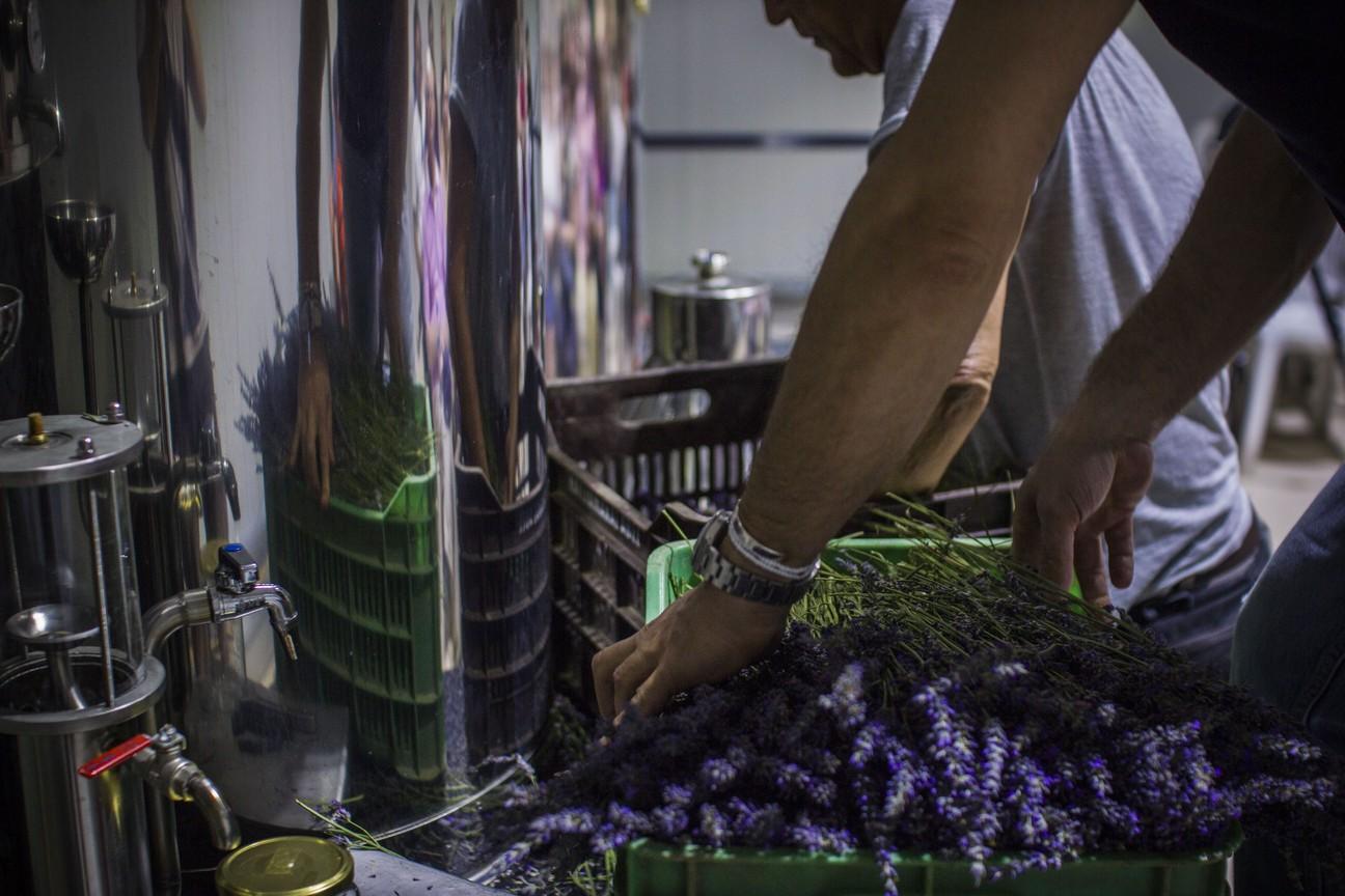 Η προετοιμασία για την υδροατμοαπόσταξη της λεβάντας μετά το μάζεμα των ανθών